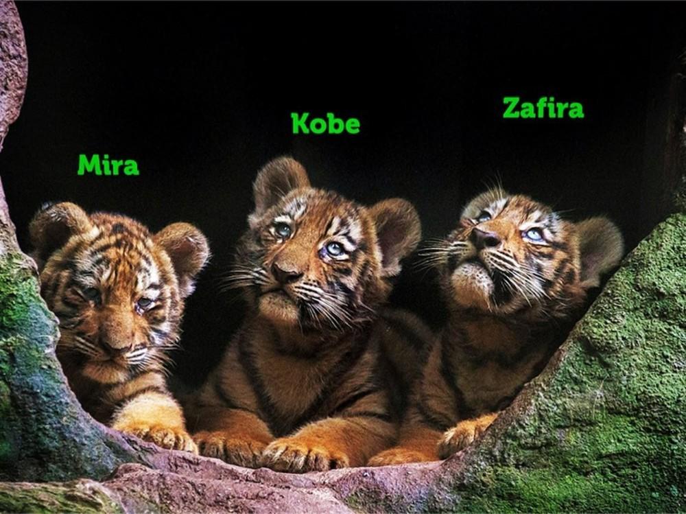 INTERNET – Filhotes de tigre siberiano nascidos no zoo de Itatiba ganham nomes após campanha nas redes sociais